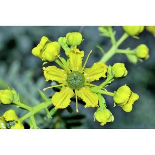 Routa vonná - semena 0,5g (cca 80ks)