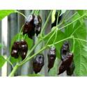 Chilli paprička Machu Picchu - semena 10ks