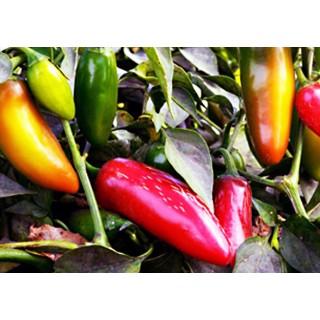 Chilli paprička Jalapeno NuMex Pinata - semena 10ks