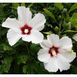 Ibišek bílý - semena 10 ks