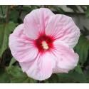 Ibišek růžový - semena 10 ks