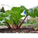 Reveň kadeřavá (rebarbora) - semena 20 ks